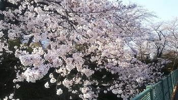 2019桜3.jpg