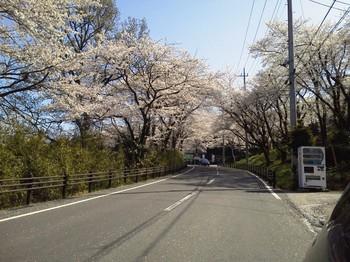 観音山の桜.JPG