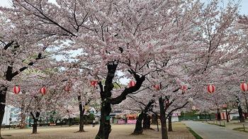 高崎公園桜1.jpg