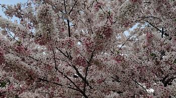 高崎公園桜2.jpg